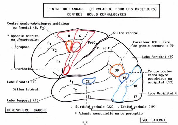 cerveau-langage