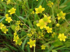 Renoncule-a-feuilles-d-Ophioglosse-gros-plan-sur-la-fleur